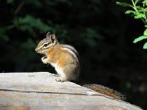 A chipmunk on a log stock image