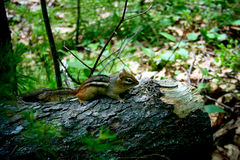 Chipmunk on a Log in the Woods Stock Image