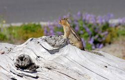 Chipmunk lookout. A chipmunk is looking out for curious visitors in his area of residence Royalty Free Stock Images
