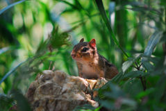 Chipmunk lookout. Chipmunk on lookout rock in forest Stock Photography