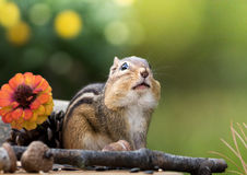 Chipmunk looks up with cheeks filled n an Autumn seasonal scene with room for text above. Cute and adorable Eastern Chipmunk looks up with cheeks filled n an stock photography