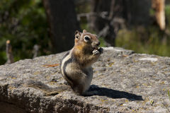 Chipmunk lunch Royalty Free Stock Images