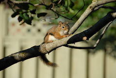Chipmunk lunchtime Royalty Free Stock Images
