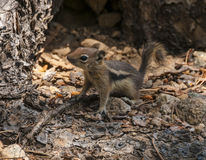 chipmunk mały śliczny Fotografia Royalty Free