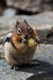 Chipmunk mangeant la pomme Images libres de droits