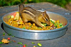Chipmunk meal Royalty Free Stock Image