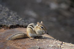 Chipmunk munching on peanuts on an old fallen tree. Royalty Free Stock Photo