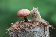 Chipmunk with a Mushroom Stock Images