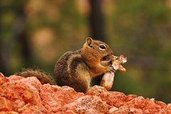 Chipmunk eating a mushroom Royalty Free Stock Photography