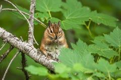 Chipmunk na drzewie z zielonymi liśćmi Fotografia Stock