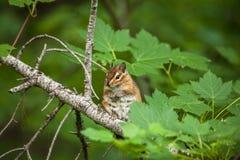 Chipmunk na drzewie z zielonymi liśćmi Obrazy Royalty Free