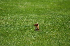 Chipmunk na grama Imagens de Stock Royalty Free