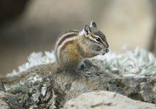 Chipmunk na Huraganowym wzgórzu, Olimpijski park narodowy, Waszyngton fotografia royalty free