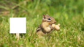 Chipmunk nahe unbelegtem Zeichen mit einer Erdnuss. Lizenzfreie Stockbilder