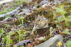 Chipmunk in nature Stock Images