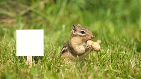 Chipmunk near blank sign with a peanut. Royalty Free Stock Images