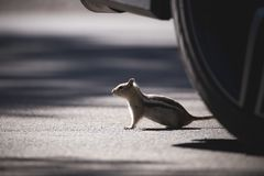 Chipmunk by the wheel on the road royalty free stock photos