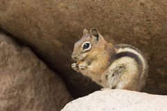 Chipmunk Nibbles on a Snack. Chipmunk nibbles on snack in the rocks at a park in Colorado Royalty Free Stock Photography