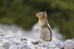 Chipmunk in north America stock images