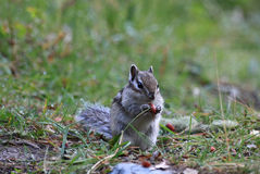 Chipmunk  with a nut Royalty Free Stock Photos