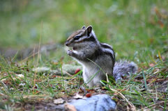 Chipmunk  with a nut Stock Image
