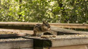 Chipmunk and Nuts. Taken at Riverside Park Cambridge Ontario Canada Stock Photography