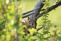 Chipmunk occidental dans un arbre Photographie stock libre de droits