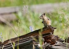 Chipmunk on an old log in a green field stock photo