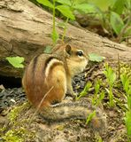 Chipmunk On A Log 1 Stock Image