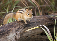 Chipmunk oriental Photo libre de droits