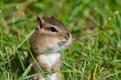 Chipmunk oriental Photo stock