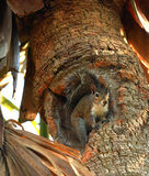 Chipmunk on a palm tree royalty free stock image