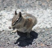 Chipmunk and Pavement Royalty Free Stock Photo