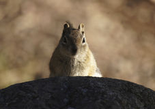 Chipmunk. A chipmunk peaks over a rock Royalty Free Stock Photos