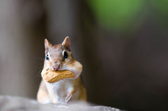 Chipmunk with peanut Stock Images