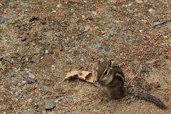 Chipmunk with Peanut in its Cheek. Chipmunk sitting on ground with peanut in its cheek Stock Photos