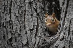 Chipmunk peeking out stock photo
