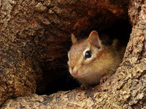 Chipmunk Peeking Out of a Knothole Royalty Free Stock Photos