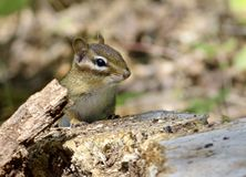 Chipmunk peeking over tree stump. Eastern Chipmunk (Tamias striatus ) peeks over a tree stump in a state park in New Jersey Royalty Free Stock Images