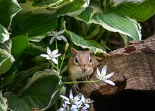 Free Chipmunk Peeks Out From Behind White Spring Flowers Royalty Free Stock Photo - 186314075