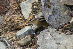 Chipmunk peeps from behind the rocks Royalty Free Stock Image