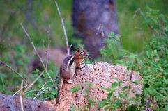 Chipmunk perched on a rock in the forest royalty free stock images