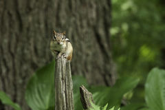 Eastern chipmunk Stock Photography