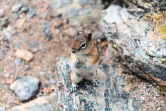 A Chipmunk plays among the rocks in the Rocky Mountains