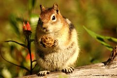 Chipmunk Porky Photos stock