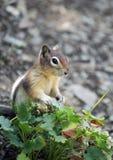 Chipmunk Royalty Free Stock Image
