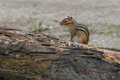 Chipmunk posing pretty. I love Chipmunks. They are so neat to watch Royalty Free Stock Images