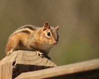 Chipmunk posing pretty. I love Chipmunks. They are so neat to watch Royalty Free Stock Photo
