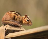 Chipmunk posing pretty. I love Chipmunks. They are so neat to watch Stock Photo