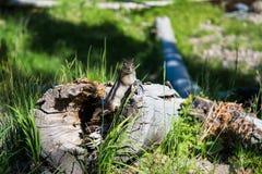 Chipmunk przy Uroczystym Teton parkiem narodowym, usa Obrazy Stock
